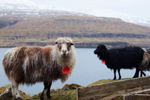 Får på Færøerne.