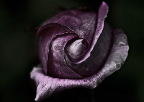 En rosenknop fra haven