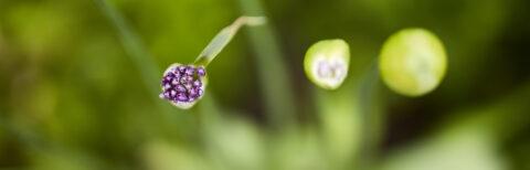 Makro fra haven. Blomsterne er næsten sprunget ud